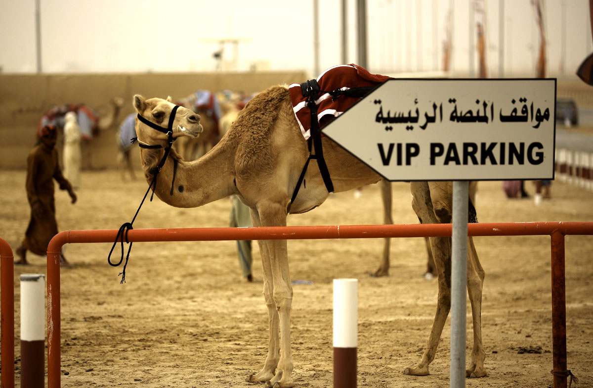 Watch a camel race
